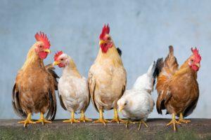 なぜ鳥インフルエンザで鶏を殺処分しなければならないの?